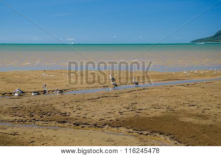 Pelicans Are Resting On A Beach