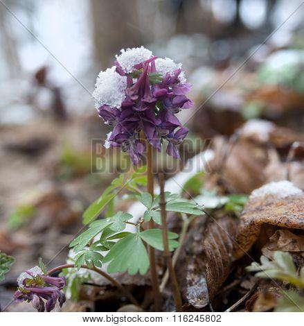 Spring Flower Under Snow
