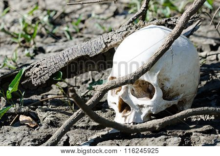 Human Skull Hidden On Soil