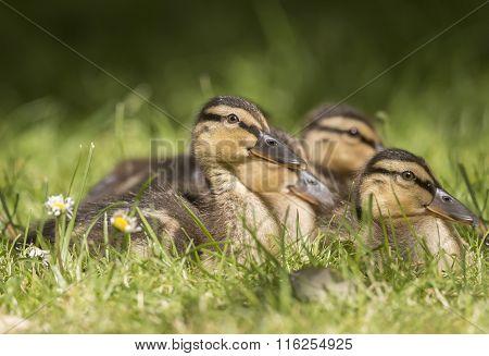 Mallard ducklings on the grass close up