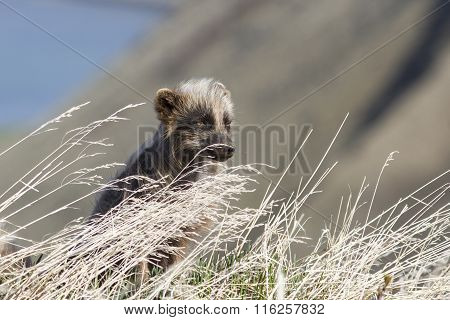 Commanders Blue Arctic Fox Sitting In The Grass On A Summer Day The Wind