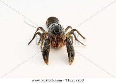 Fallicambarus macneesei crayfish