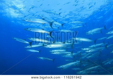 Barracuda fish in blue water