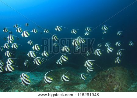 Tropical fish school Longfin Bannerfish