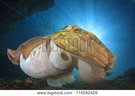 Cuttlefish (Sepia)