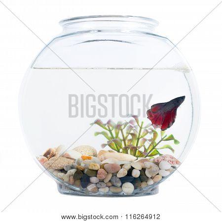 Siamese Fighting Fish In Fish Bowl