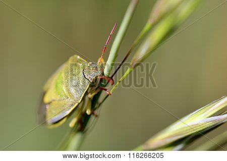 Green Bug On A Blade