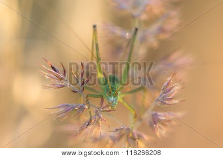 Grasshopper Hiding In The Grass With Morning Dew