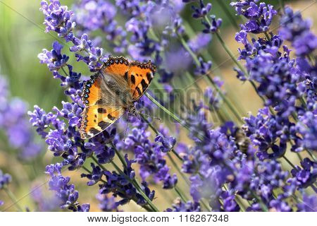 Small Tortoiseshell Butterfly Feasting On Lavender