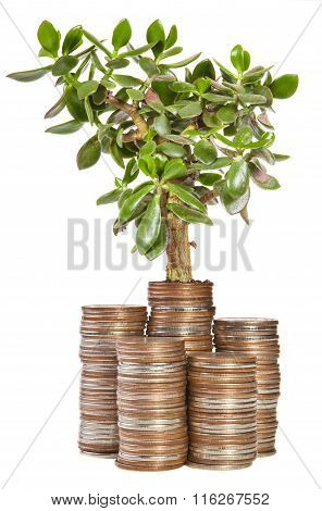 Crassula Plant On A Pile Of Coins. The Concept Of Money Growth