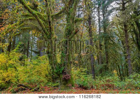 Hoh Rainforest view