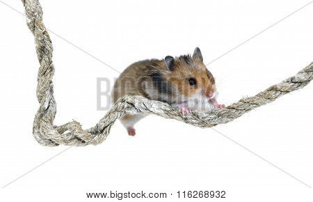 Brown Syrian Hamster Climbing On A Rope Isolated