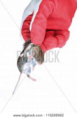 Grey Mouse In Hand Disinfectant Worker In The Glove Closeup