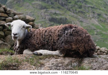 Herdwick Sheep in the Lake District