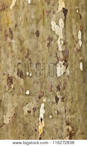Pattern Of Plane Bark Of A Tree