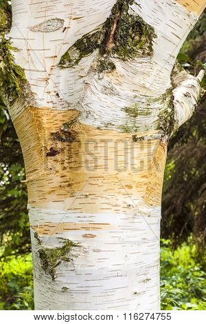 background of birch tree bark in detail
