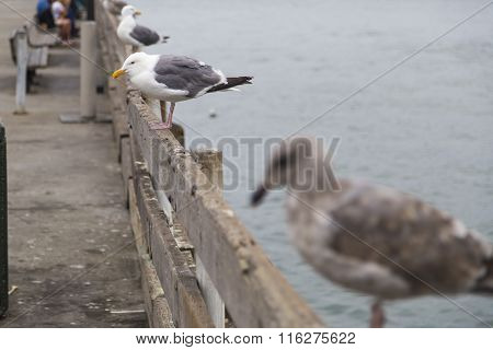 Closeup Of Seagulls Sitting On Fence In San Francisco, Califronia