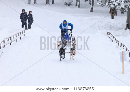 Sled Dog Race, dog team during the skijoring competition on the winter road