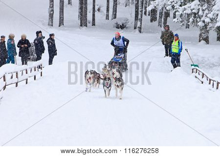 Sled Dog Race, driver and dogs during the skijoring competition