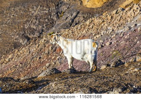 goats in the wild mountains of Lanzarote