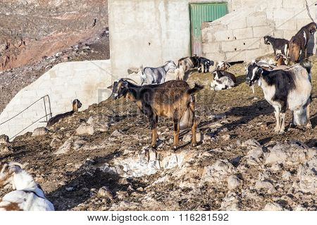 flock of goats in the mountains of a cheese diary