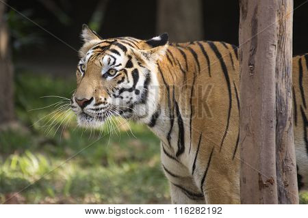 Bengal Tiger Watching