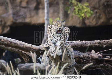 Leopard Rest On The Tree