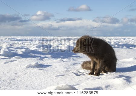 Commanders Blue Arctic Fox Sitting On The Shore Of A Frozen Sea On A Sunny Day