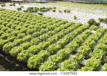 Organic Vegetables Hydrophonic Plantation
