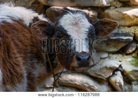 Portrait Bull Calf