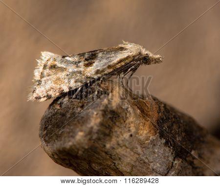 Cochylimorpha straminea micro moth