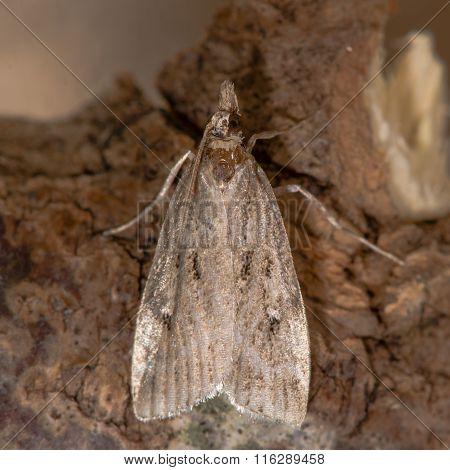 Eudonia pallida micro moth