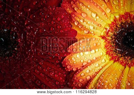 Red and orange daisy gerbera background with waterdrops