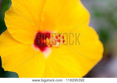 Yellow Chinese Rose flower