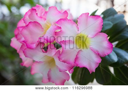 Pink Impala Lily Flower