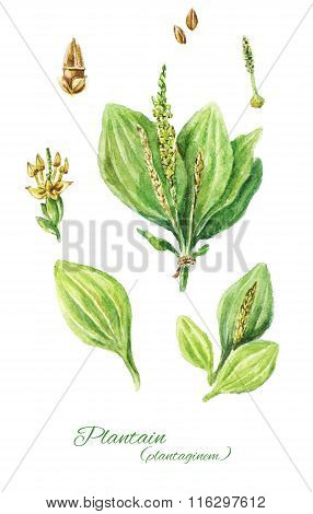 Colorful Watercolor Drawing Of Plantain Isolated On White Background. Hand Drawn Plantain. Illustrat