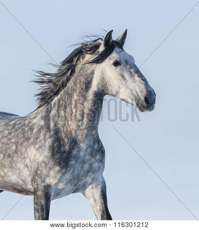 Dapple-grey horse - portrait on blue background