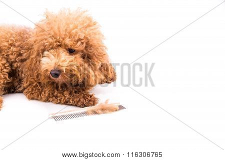 Poodle Dog After Combing, With  De-tangled Fur Stuck On Comb
