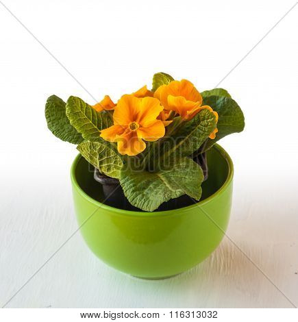 Bush Yellow Primrose In A Green Pot