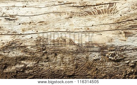 Wood With Bark Beetle Galleries