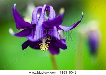 Blue Flower Of European Columbine