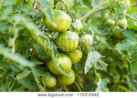 Unripe Tomatoes In The Vegetable Garden.