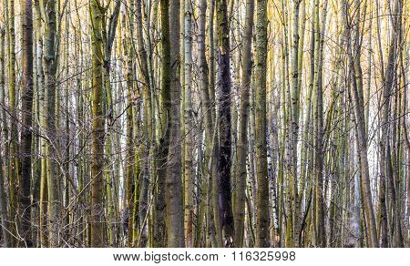 harmonic pattern of trees in forest gives a harmonic background
