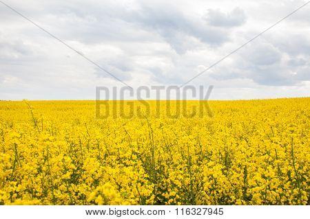 Blooming Rapeseed (brassica Napus) Field