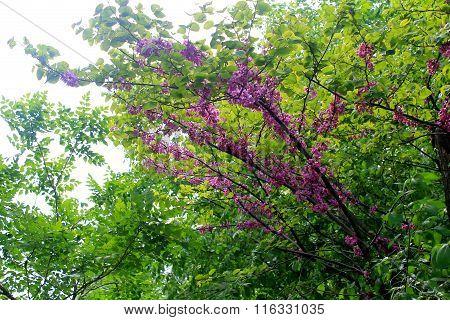 Judas tree blossom