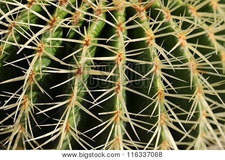 Sharp Spines Of Barrel Cactus