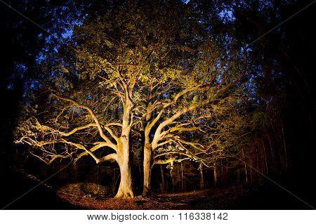 Old linden tree