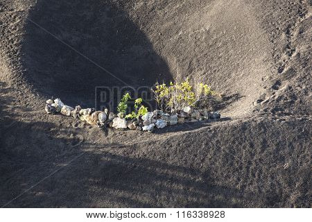A Vineyard In Lanzarote Island, Growing On Volcanic Soil