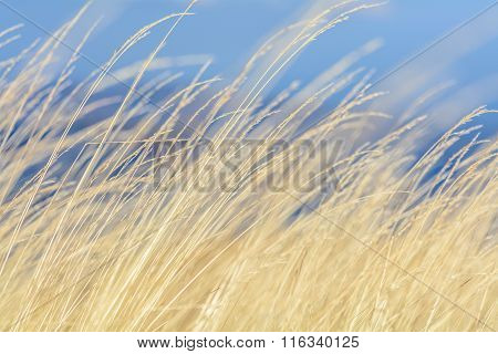 Dry Grass With Blue Sky Behind. Dry Grass Yellow Background With Blue Sky Behind On Autumnal Mountai