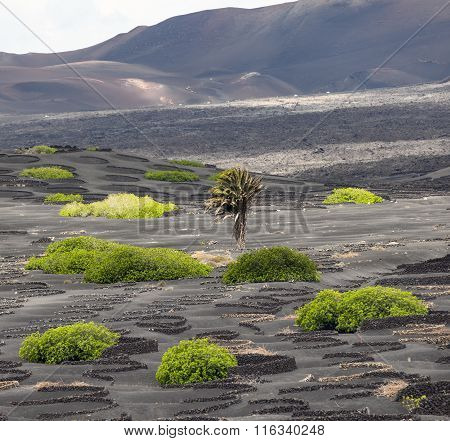 Palm Tree In Volcanic Wineyard Area La Geria In Lanzarote